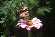 Pink Zinnias Framed Prints - Tiger Swallowtail Butterfly on Pink Zinnia Framed Print by Tracy Smith