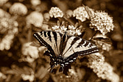 Tiger Swallowtail Posters - Tiger Swallowtail Butterfly Sepia Poster by Jennie Marie Schell