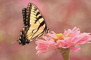 Kim Hojnacki - Tiger Swallowtail in the Pink