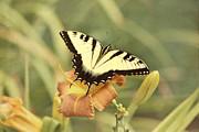 Kim Hojnacki - Tiger Swallowtail