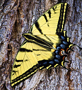 Sandoval Prints - Tiger Swallowtail Print by Lena Sandoval-Stockley