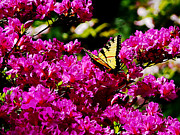 Swallowtail Posters - Tiger Swallowtail on Azalea Poster by Susan Savad