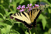 Tiger Swallowtail Digital Art Prints - Tiger Swallowtail on Butterfly Bush 1 - Featured in the Wildlife and Nature Groups Print by EricaMaxine  Price
