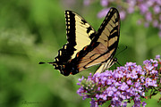 Tiger Swallowtail Digital Art Posters - TIGER SWALLOWTAIL on Butterfly Bush 2 - Featured in Comfortable Art and Flower w Co Macro Groups Poster by EricaMaxine  Price