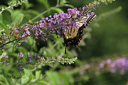 Tiger Swallowtail Digital Art Prints - TIGER SWALLOWTAIL on Butterfly Bush Print by EricaMaxine  Price
