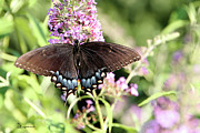 Photo Manipulation Photo Posters - TIGER SWALLOWTAIL on Butterfly Bush-Female - Featured in Wildlife and Nature Groups Poster by EricaMaxine  Price