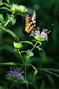 Horsemint Posters - Tiger Swallowtail on Horse Mint Poster by Michael Dougherty