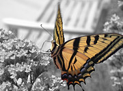 Tiger Swallowtail Prints - Tiger Swallowtail Print by Shane Bechler