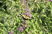 Tiger Swallowtail Digital Art Posters - Tiger Swallowtails on Butterfly Bush-Male and Female Poster by EricaMaxine  Price