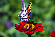 Garry Gay - Tiger Tail On Red Flower