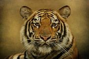 Wildlife Art Digital Art Framed Prints - Tiger Tiger Framed Print by Sandy Keeton