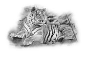Repose Drawings Prints - Tiger Tiger Print by Timothy Ramos
