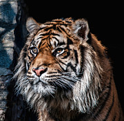 Pictures Of Cats Photo Posters - Tiger Watch Poster by Walter Hampson