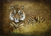 Big Cats Photos - Tigers Tale  by Saija  Lehtonen