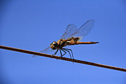 Dragon Fly Posters - Tightrope Poster by Douglas Barnard