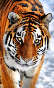 Tigress Posters - Tigress Eyes Poster by Emily Stauring