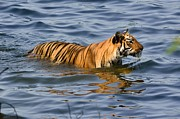 Tigress Of The Lake Print by Fotosas Photography