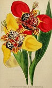 Garden Drawings - Tigridia Pavonia and Conchiflora by Unknown