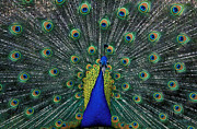Peacock Photo Metal Prints - Tiki Metal Print by Kathy Yates