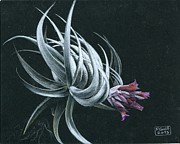 Epiphyte Metal Prints - Tillandsia piauiensis Metal Print by Penrith Goff