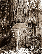 Loggers Posters - Timber Fallers In The Old Growth 1910 Poster by Darius Kinsey