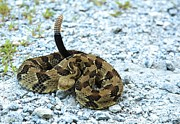 Timber Rattler Photos - Timber Rattlesnake by Doug McPherson