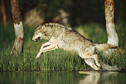 Timber Wolf Photos - Timber Running Through Water by Tim Fitzharris