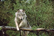Wolf Photograph Prints - Timber Wolf Canis Lupus Leaping Print by Tim Fitzharris