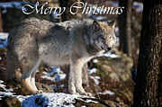Timber Wolf Photos - Timber Wolf Christmas Card 1 by Michael Cummings