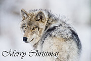 Timber Wolf Framed Prints - Timber Wolf Christmas Card 2 Framed Print by Michael Cummings
