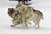 Submissive Metal Prints - Timber Wolf  Pair Montana Metal Print by Matthias Breiter