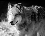 Black. Timber Wolf Photography Prints - Timber Wolf Print by Stephanie McDowell