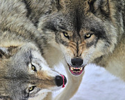 Timber Wolf Prints - Timber Wolves At Play Print by Tony Beck