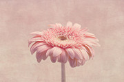 Soft Pink Metal Prints - Timeless Metal Print by Kim Hojnacki