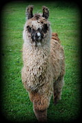 Llama Digital Art Framed Prints - Timmy Framed Print by Kathy Sampson