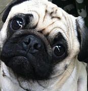 Maria Schaefers - Tinkey the pug
