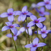 Tiny Bluet Prints - Tiny Bluet Wildflowers Print by Kathy Clark