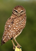 Sabrina Ryan Posters - Tiny Burrowing Owl Poster by Sabrina L Ryan