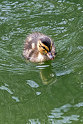 Kate Brown - Tiny Duckling