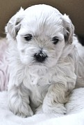 Maltese Puppy Photos - Tiny Maltese Puppy by Lisa  DiFruscio
