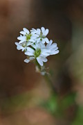 Brady D Hebert - Tiny White Flowers