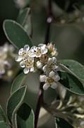 Australian Native Flora Prints - Tiny White Flowers Print by Joy Watson