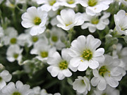 Teresa Cox - Tiny white flowers...