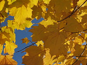 Golden Leaves.beauty Prints - Tiny Yellow Maple Leaf in the Blue Print by Anna Lisa Yoder