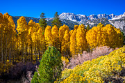 Aspen Trees Prints - Tioga Pass Print by Scott McGuire