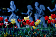 Cheryl Young Metal Prints - Tip Toe Through the Tulips Metal Print by Cheryl Young