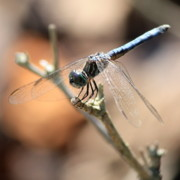 Dragonflies Art - Tired Dragonfly Square by Carol Groenen