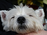 Westie Terrier Photos - Tired Puppy by Geraldine Alexander