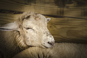 Ovine Framed Prints - Tired Sheep Framed Print by Bradley Clay