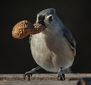 Jim Moore - Titmouse and Peanut